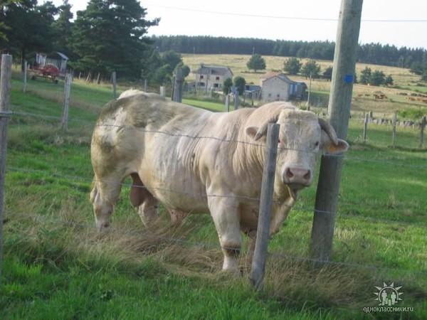Лысая корова Порода