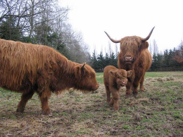 Фото корова